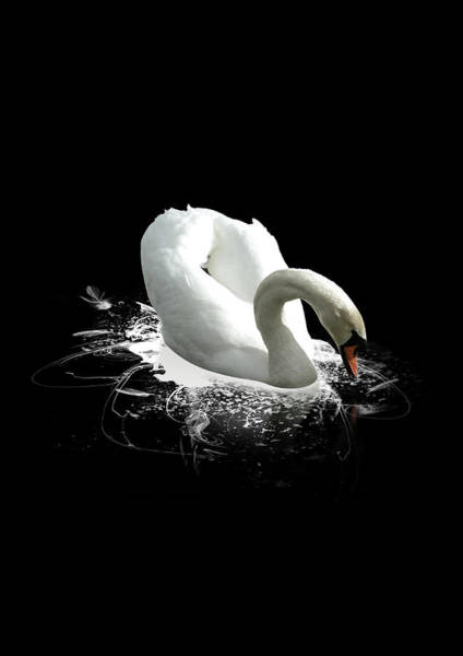 Newcastle Upon Tyne Photograph - Swan On A Black Lake by Photography By Paul Hollingworth