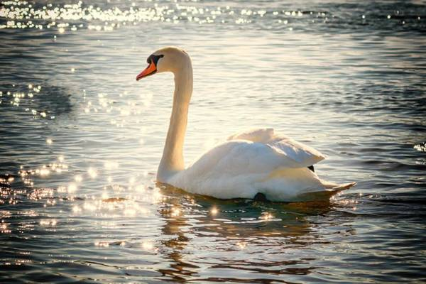 Photograph - Swan On Golden Waters by Top Wallpapers