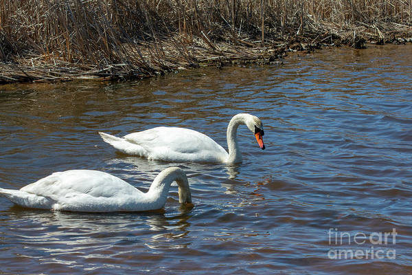 Photograph - Swan Reflection by Ruth H Curtis