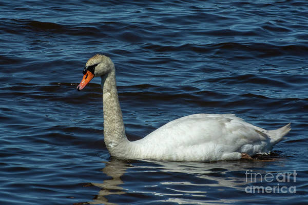 Photograph - Swan Shadow by Ruth H Curtis