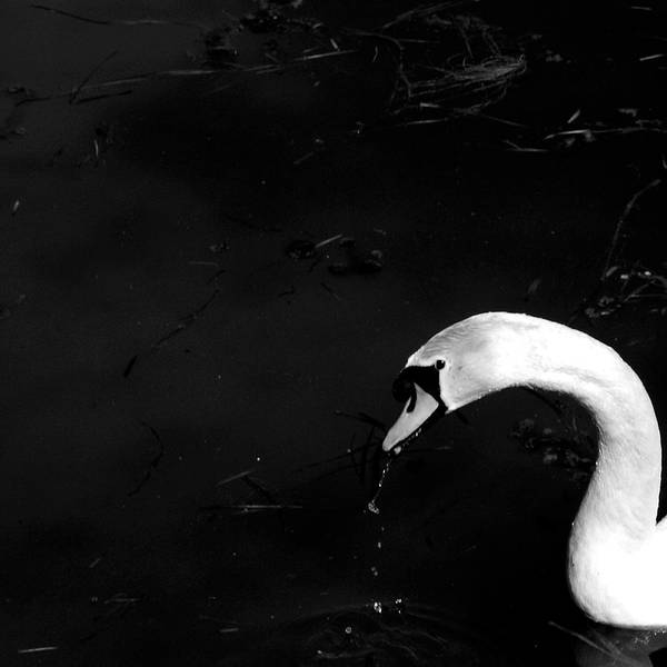Swan Neck Photograph - Swan by Sofia Uslenghi