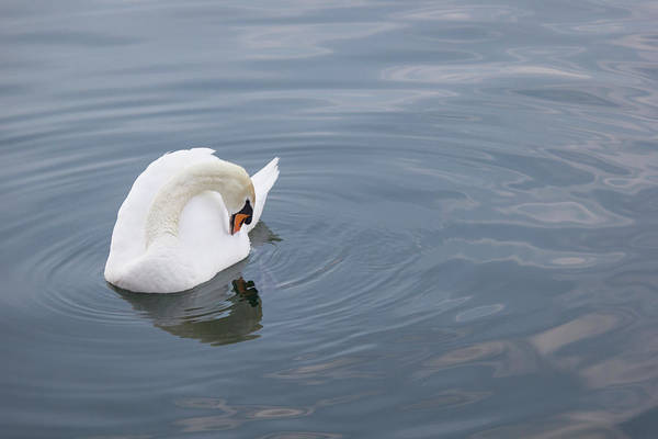 Wall Art - Photograph - Swan Study 11 by Teresa Mucha