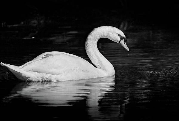 Photograph - Swan by Steve DaPonte