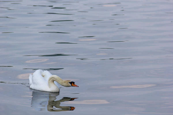 Wall Art - Photograph - Swan Study 04 by Teresa Mucha
