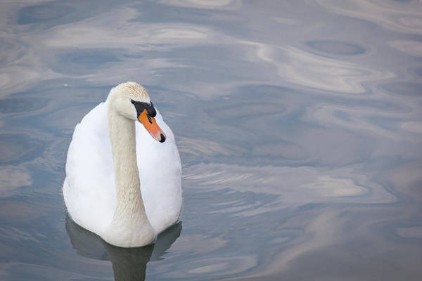 Wall Art - Photograph - Swan Study 09 by Teresa Mucha