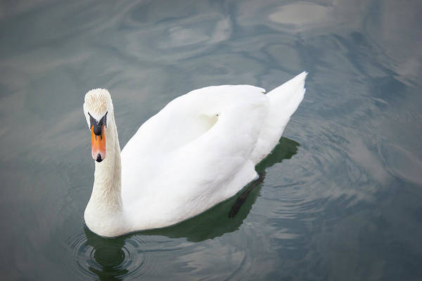 Wall Art - Photograph - Swan Study 10 by Teresa Mucha
