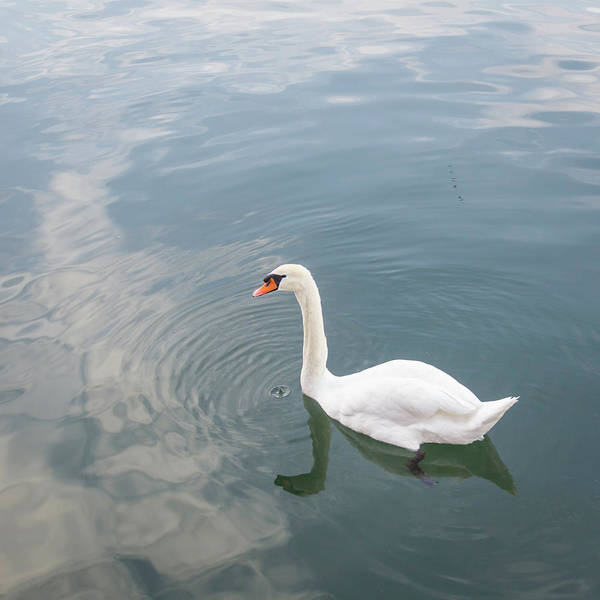 Wall Art - Photograph - Swan Study 12 by Teresa Mucha