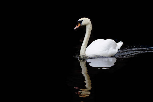 Birmingham Wall Art - Photograph - Swan Swimming In Lake by Alexturton