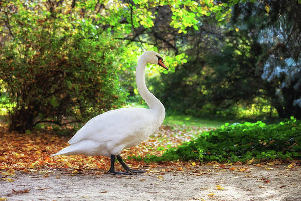 Wall Art - Photograph - Swan Walking In A Park by Artur Bogacki