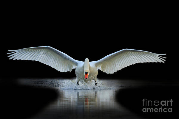 Swan Photograph - Swan With Open Wings, A Unique Moment by Drakuliren