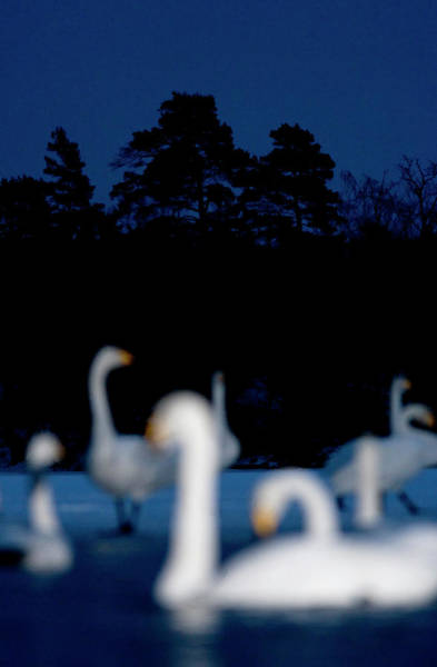 Poetry Photograph - Swans Against A Dark Forest Sweden by Staffan Andersson