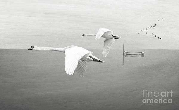 Swan Photograph - Swans At Sunrise Bw by Laura D Young