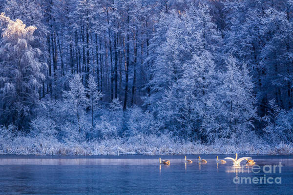 Forest Bird Photograph - Swans At Sunrise On Winter Lake by Shaiith