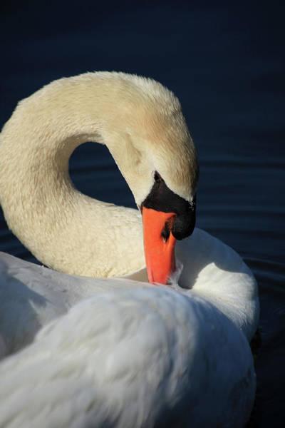 Wall Art - Photograph - Swans Beauty by Karol Livote