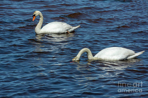 Photograph - Swans Fishing by Ruth H Curtis