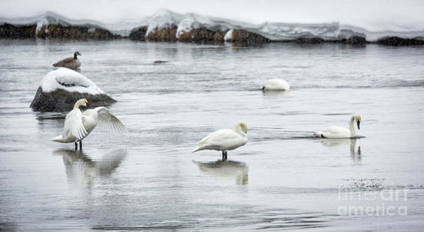 Wall Art - Photograph - Swans In River 3 by Timothy Hacker