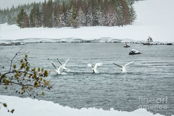 Wall Art - Photograph - Swans In River by Timothy Hacker