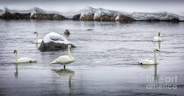 Wall Art - Photograph - Swans In Winter 1 by Timothy Hacker