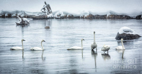 Wall Art - Photograph - Swans In Winter 2 by Timothy Hacker