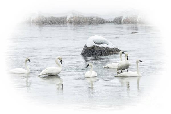 Wall Art - Photograph - Swans In Winter 3 by Timothy Hacker