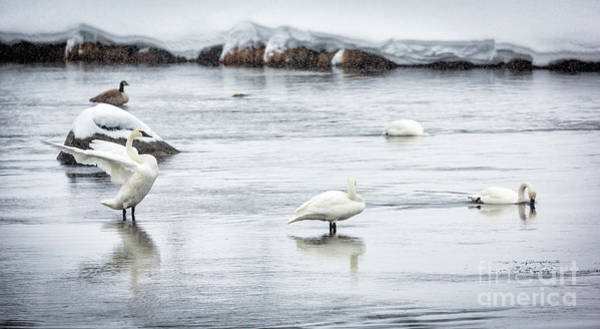 Wall Art - Photograph - Swans In Winter by Timothy Hacker