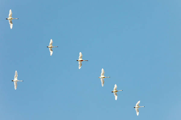 Wall Art - Photograph - Swans On High by Todd Klassy