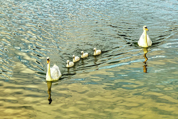Photograph - Swans On The Rhone River by Kay Brewer