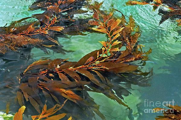 Photograph - Swaying Seaweed by Susan Wiedmann