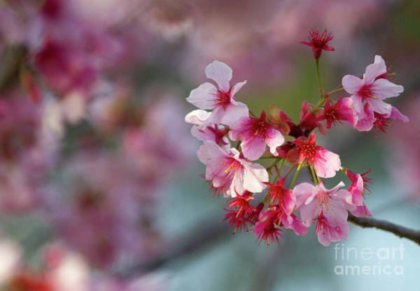 Wall Art - Photograph - Sweet Cherry Tree by Ruth Jolly