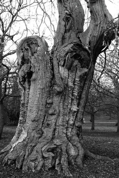 Photograph - Sweet Chestnut by Aidan Moran