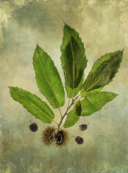 Digital Art - Sweet Chestnut by Glenys Garnett