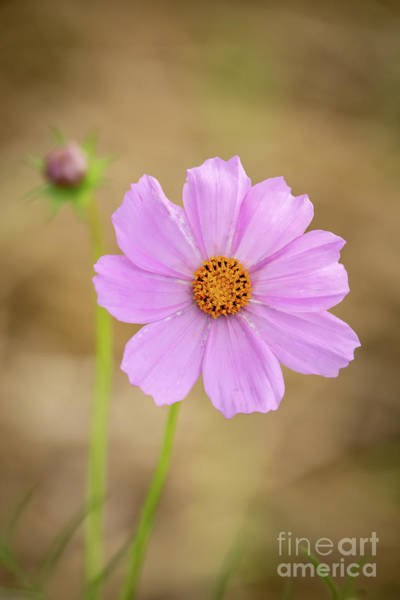 Photograph - Sweet Cosmos by Sabrina L Ryan