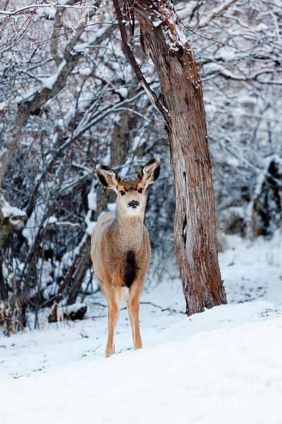 Photograph - Sweet Curious Doe In The Snow  by Steve Krull