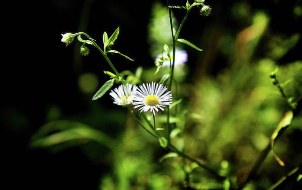 Photograph - Sweet Daisy by Milena Ilieva