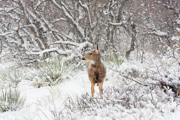 Photograph - Sweet Doe In The Snow by Steve Krull