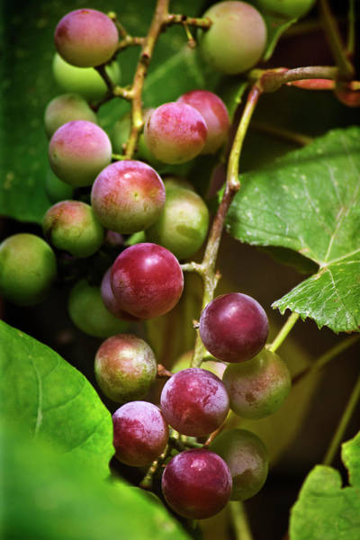 Photograph - Sweet Grapes by Christina Rollo