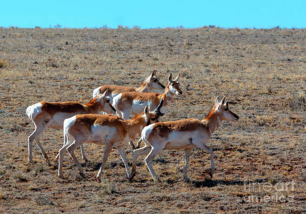 Photograph - Sweet Herd Of Pronghorn Antelope by Steve Krull