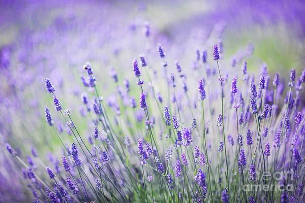 Flower Stem Photograph - Sweet Lavender by Evelina Kremsdorf