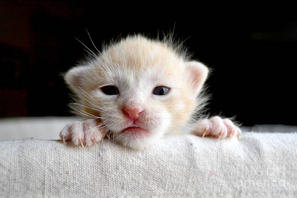 Alert Wall Art - Photograph - Sweet Newborn Orange Tabby Kitten by Mw47