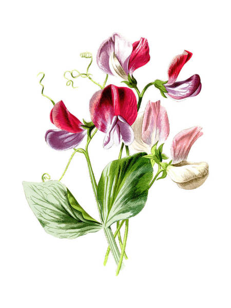 Wall Art - Mixed Media - Sweet Pea Flower by Naxart Studio