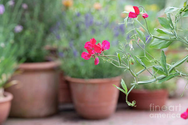 Photograph - Sweet Pea King Edward Vii by Tim Gainey