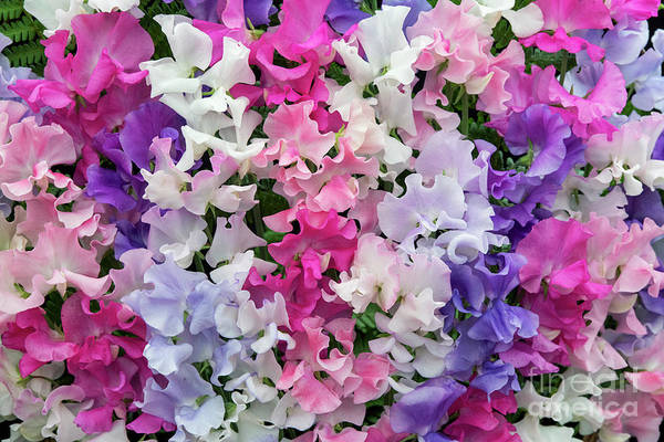 Wall Art - Photograph - Sweet Pea Spencer Mix Flowers by Tim Gainey