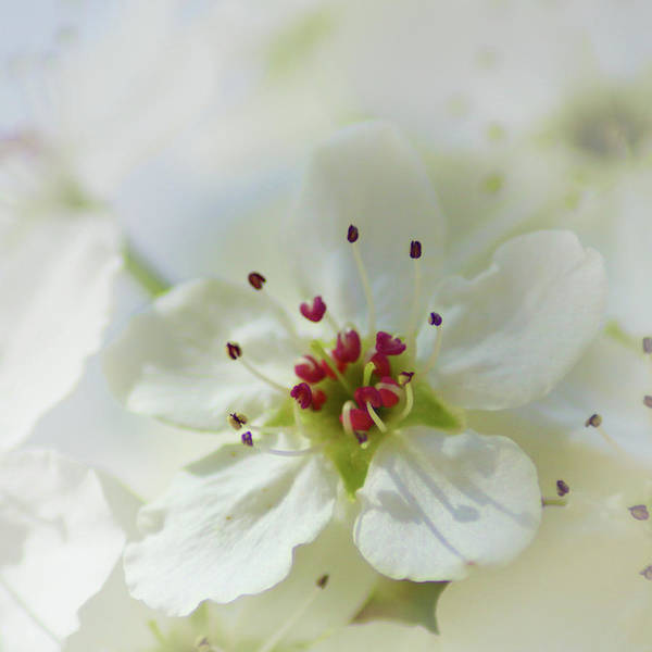Photograph - Sweet Pear Blossom by Marie Leslie