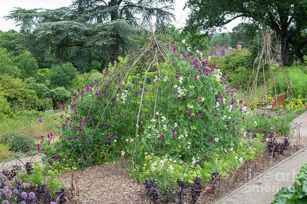 Photograph - Sweet Peas At Rhs Wisley Gardens by Tim Gainey