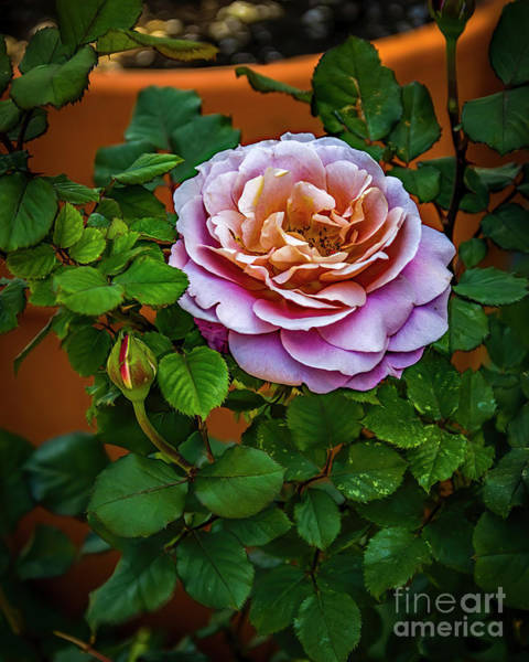 Photograph - Sweet Rose by Jon Burch Photography