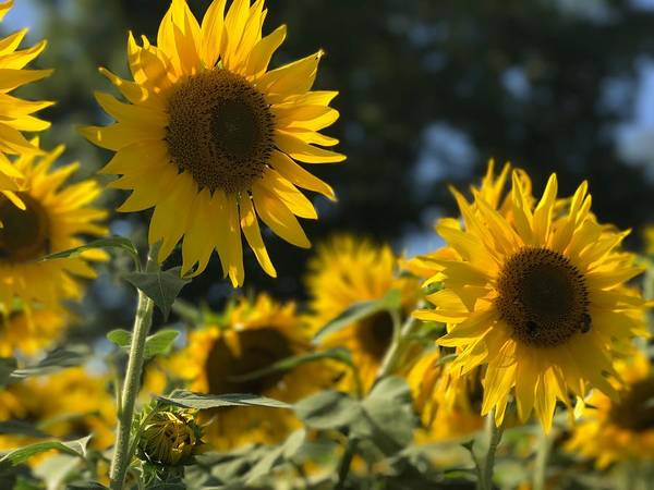 Photograph - Sweet Sunflowers by Lora J Wilson