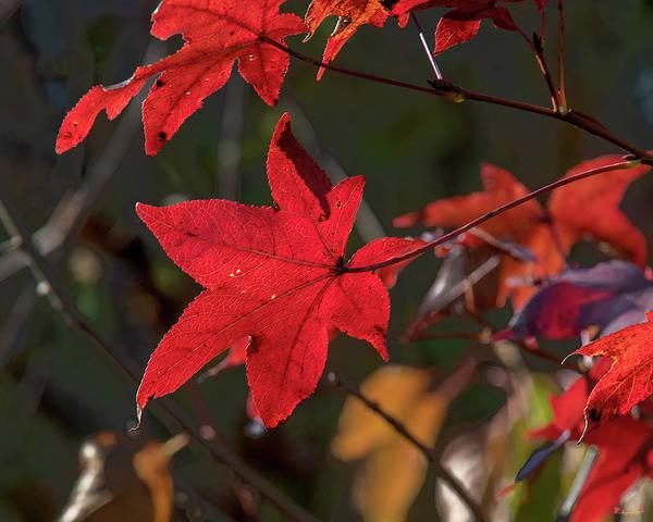 Photograph - Sweetgum Leaves Df010 by Gerry Gantt
