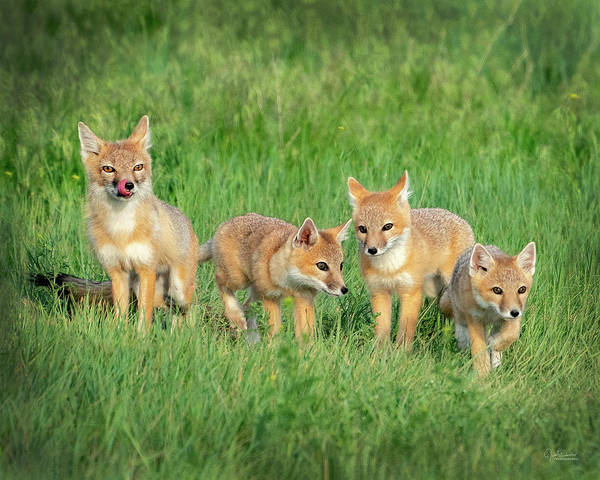 Photograph - Swift Fox Family by Judi Dressler