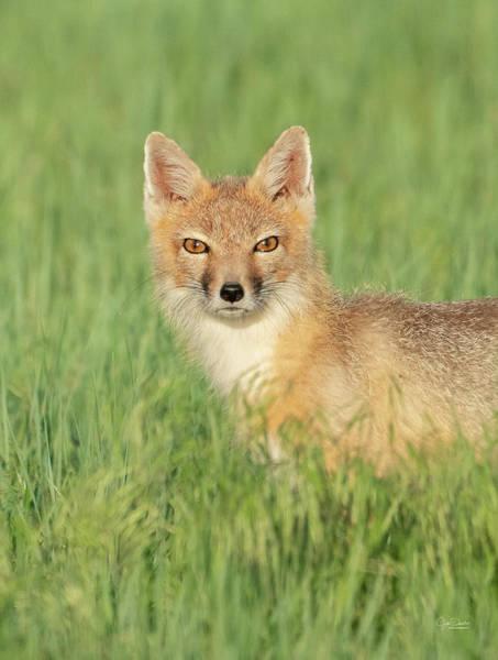 Photograph - Swift Fox Portrait by Judi Dressler