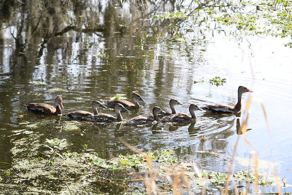 Photograph - Swimming Black-bellied Whistling Duck Family by Carol Groenen